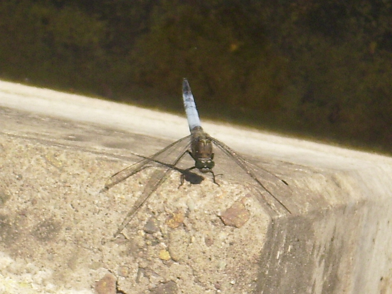 Macroaufnahme einer Libelle