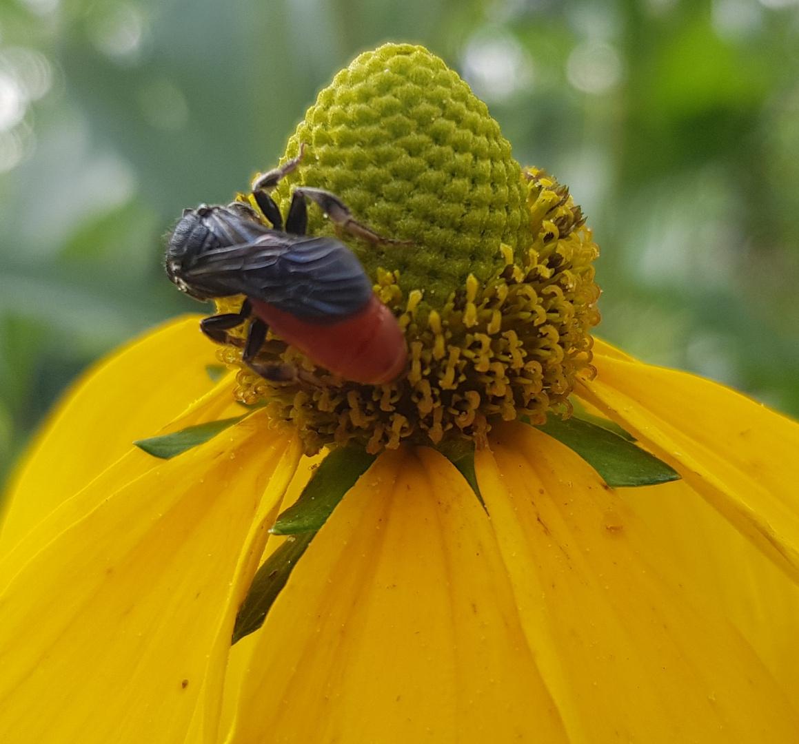 Macrophya alboannulata