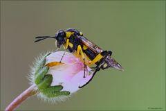 Macrophya-montana-femmina