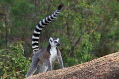 Madagascar: lemure katta