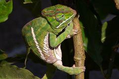 Madagaskar Chamäleons