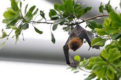 Madagaskar Flughund