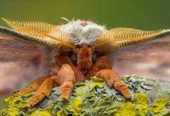 Madagaskar Kaiserspinner
