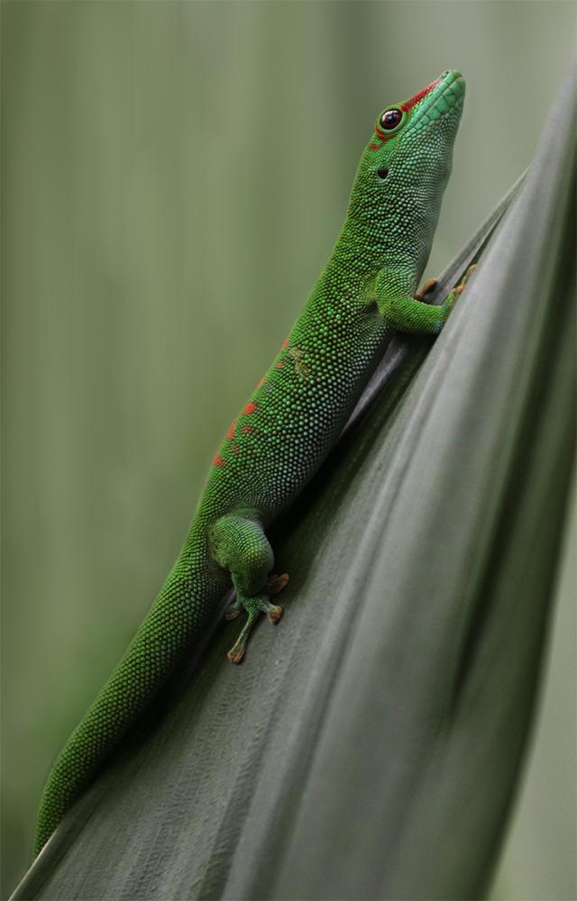 Madagaskar-Taggecko 3