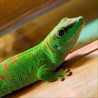<Madagaskar-Taggecko>