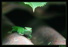 Madagaskar-Taggecko II