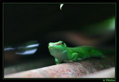 Madagaskar-Taggecko [Reloaded]