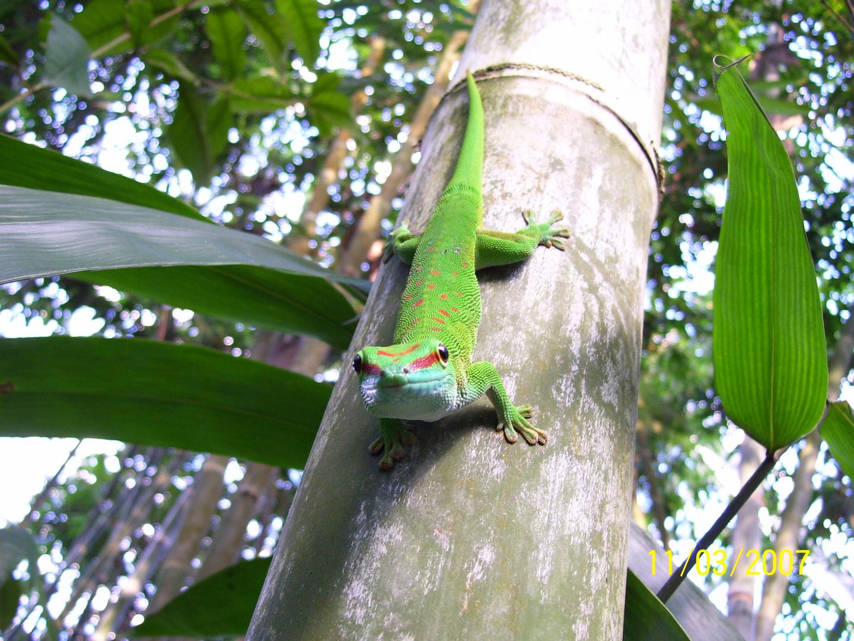 Madagaskar-Taggekko