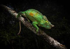 Madagaskars Drachen