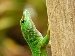Madagaskartaggecko
