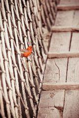 Madagaskarweber auf Hängebrücke