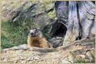 madame la marmotte devant chez elle !