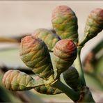 """Madame Welwitschia"""