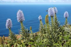 Madeira-Natternkopf