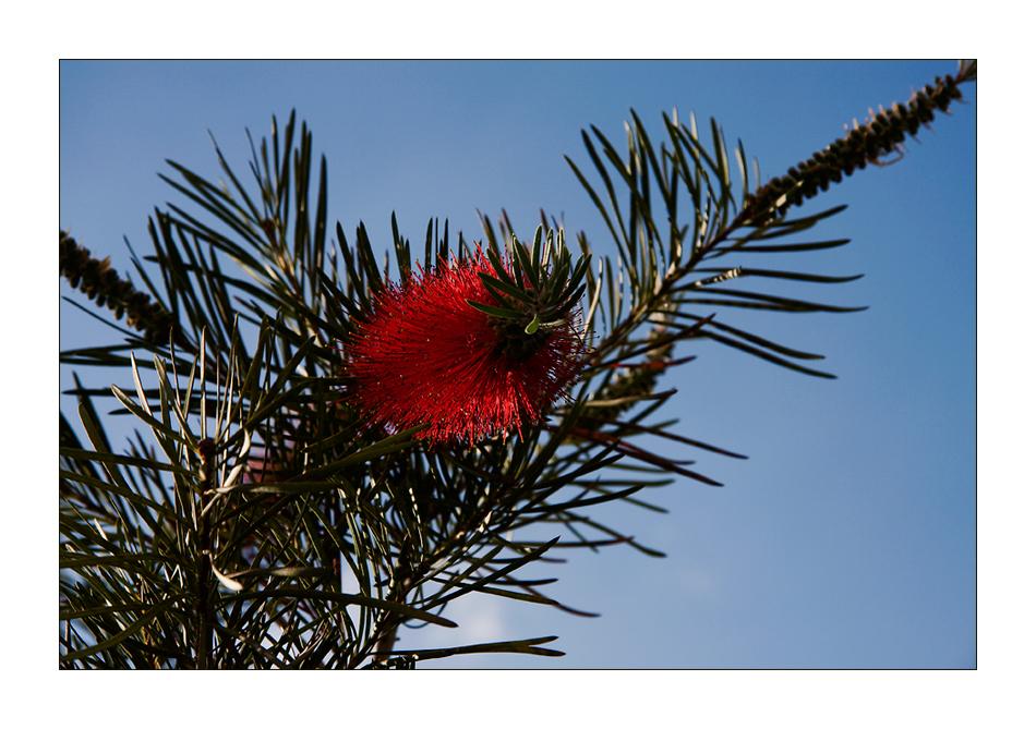 Madeira - Puderquastenbaum