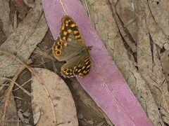 Madeira-Waldbrettspiel (Pararge xiphia) - mit geöffnete Flügeln