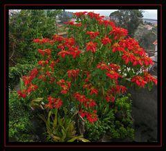 Madeiras Weihnachtssterne