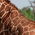 Madenhacker beschimpft Giraffe