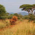 madikwes' red ellies