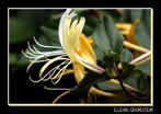 Madreselva amarilla