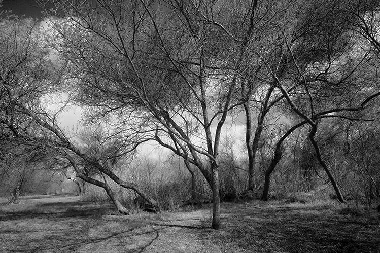 Madrona Marsh Trees No 5
