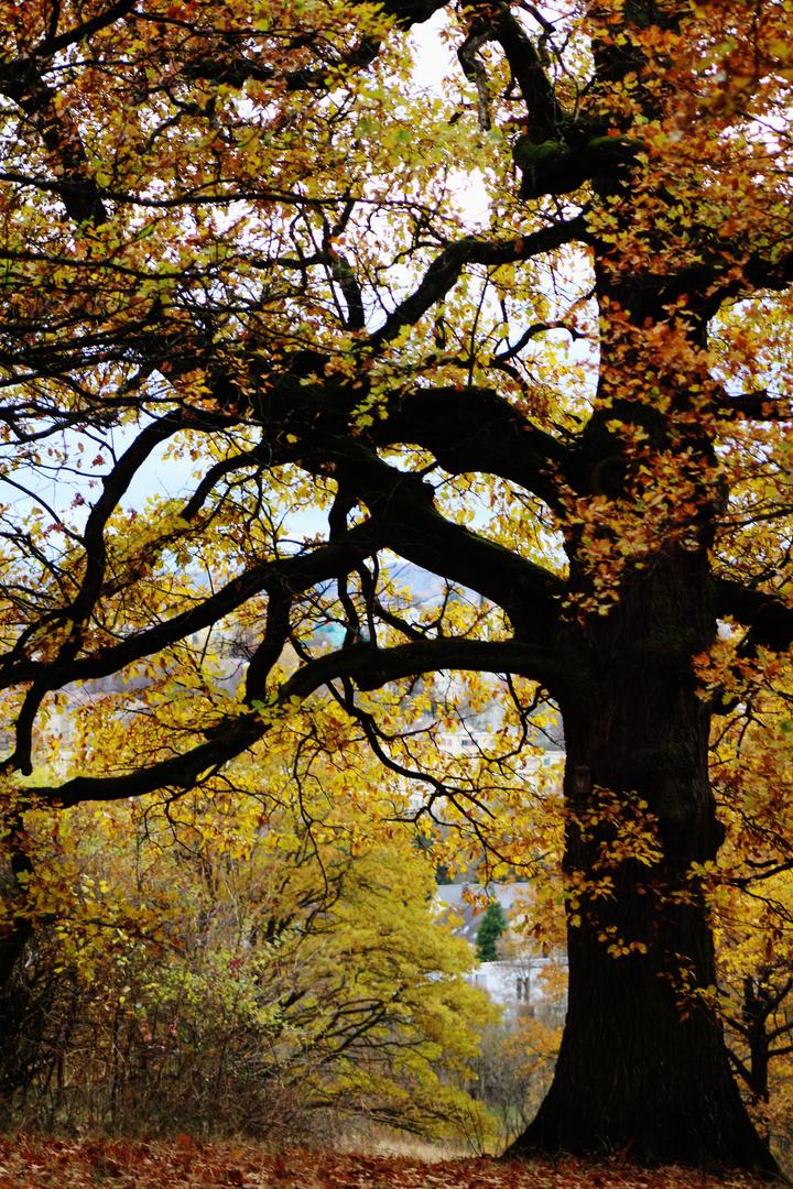 mächtige über hundert Jahre alte Bäume zeigen sich im Herbstgewand
