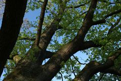 mächtiger Baum treibt wieder aus
