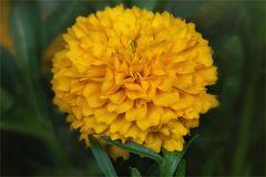 Mädchenauge - Coreopsis grandiflora....