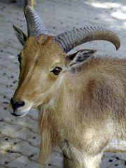 Mähnenspringer (Ammotragus lervia)