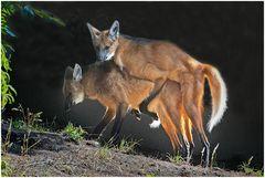 Mähnenwölfe bei der Paarung (Neuwieder Zoo)