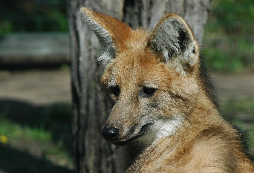 Mähnenwolf (Chrysocyon brachyurus)