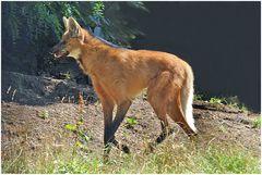 Mähnenwolf im Zoo Neuwied