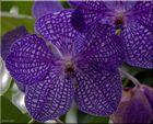 ... Männchen-Blüten ...