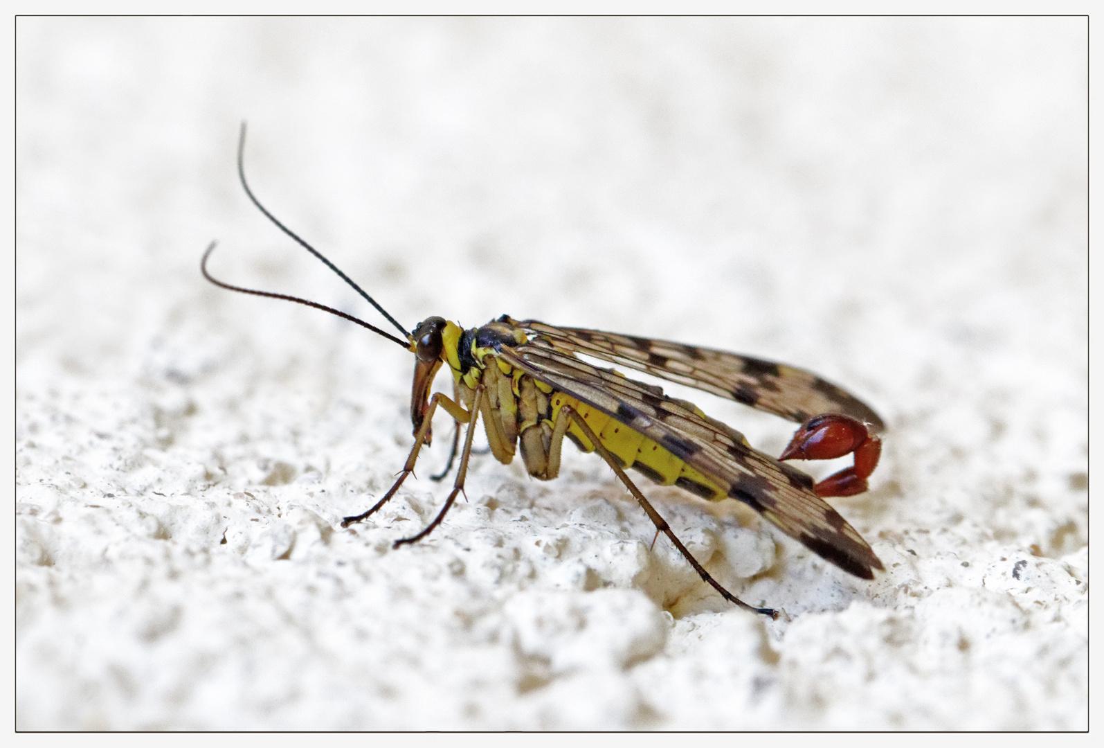 Männchen der Gemeinen Skorpionsfliege (Panorpa communis))