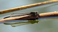 Männchen der Gemeinen Winterlibelle