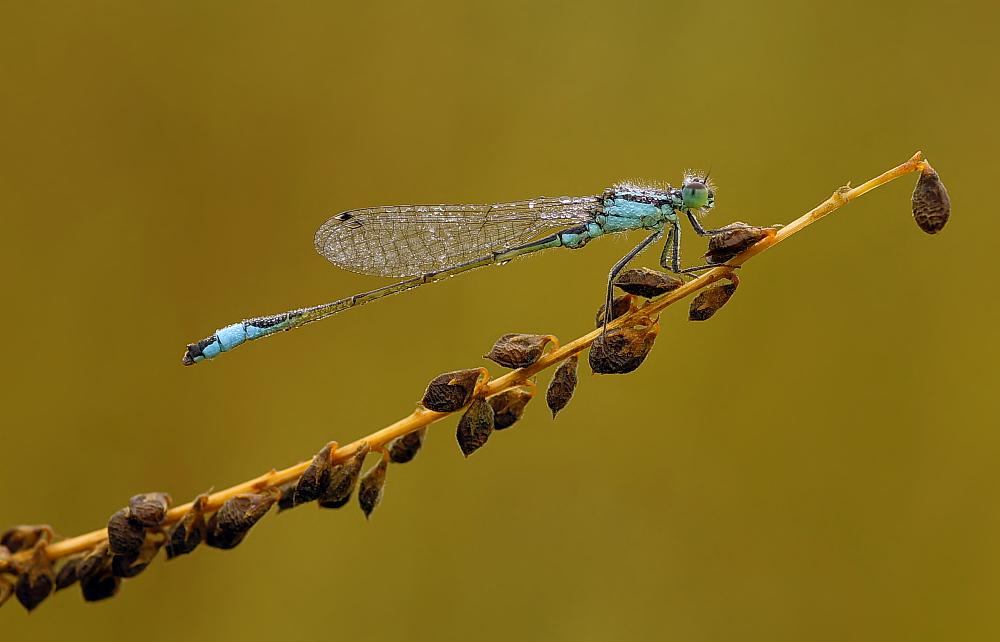 Männchen der großen Pechlibelle