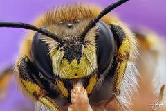 Männchen der Großen Wollbiene beim Schlafen