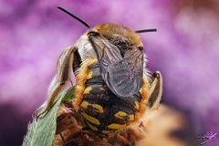 Männchen der Großen Wollbiene (von hinten)