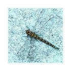 Männchen der Herbst-Mosaikjungfer