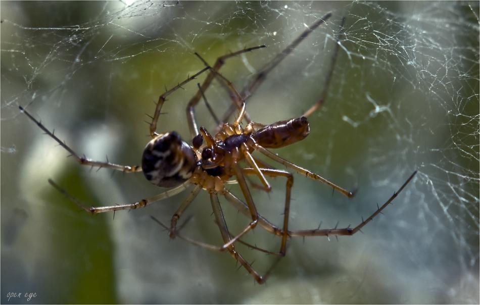 Männchen Linyphia triangularis - Weibliche Linyphia triangularis