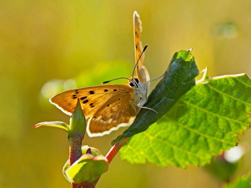 Männchen vom Dukaten-Feuerfalter (Lycaena virgaurea) - Le mâle du Cuivré de la verge d'or.