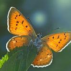 Männchen vom Dukaten-Feuerfalter (Lycaena virgaurea) - Les mâles du Cuivré de la verge d'or.