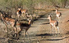 Männliche Antilopengruppe ( Impalaböcke )