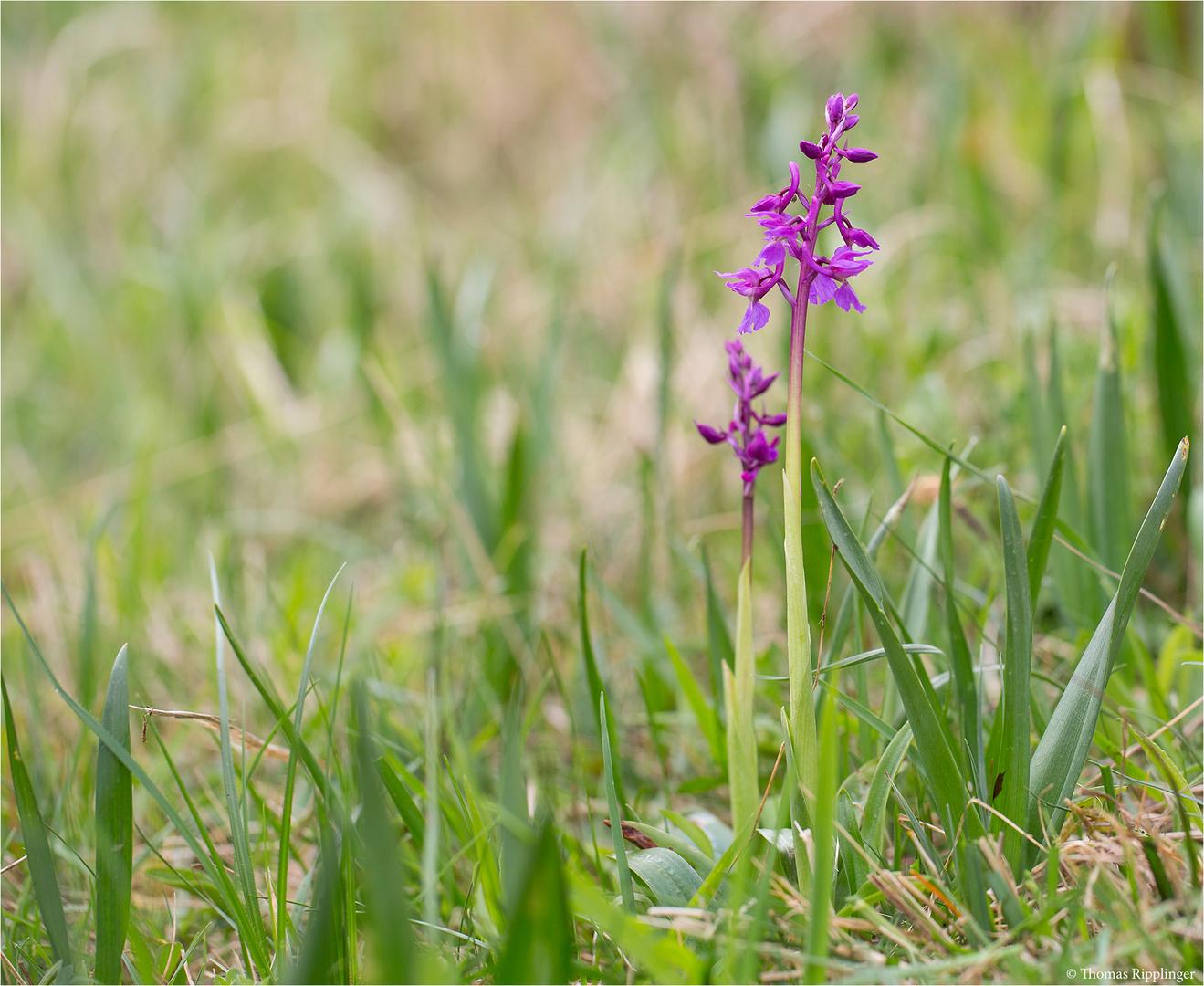 Männliche Knabenkraut (Orchis mascula).