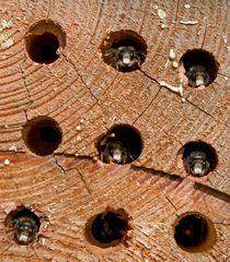 männliche Mauerbienen