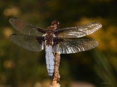 männliche Plattbauchlibelle