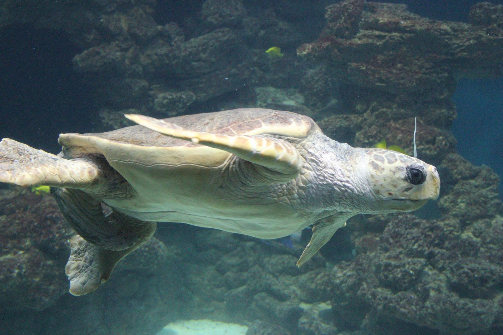 männliche rießen Wasserschildkröte
