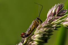 männliche Skorpionsfliege