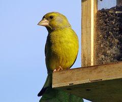 männlicher Grünfink, mein Fotofreund