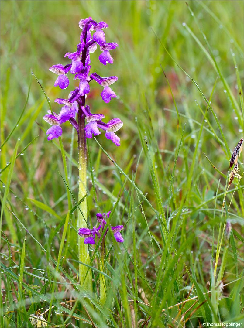 Männliches Knabenkraut (Orchis mascula) -